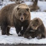 фотографии медведей Сергея Иванова
