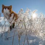 фото лисиц Ивана Кислова