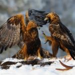 фото диких птиц Игоря Шилохвоста