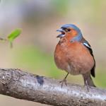 фото певчих птиц России Натальи Бачковой