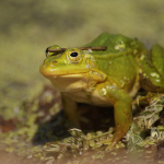 фото зеленых лягушек Ирины Фурашовой