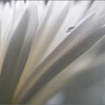 капли росы на цветах Александра Сенникова