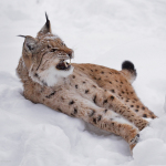 Большие дикие кошки Антона Аверьянова