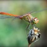 макро стрекозы и бабочки Сергея Фудиненко